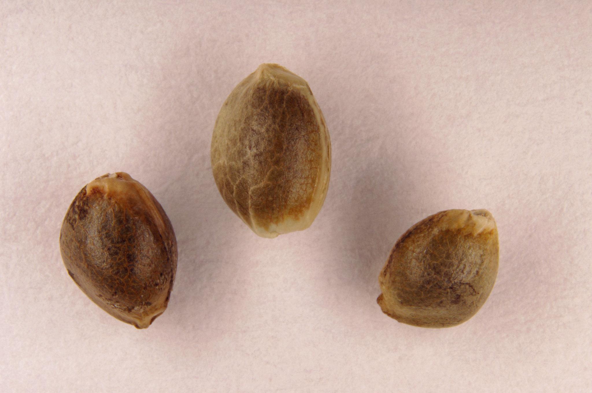 cloning feminized seeds