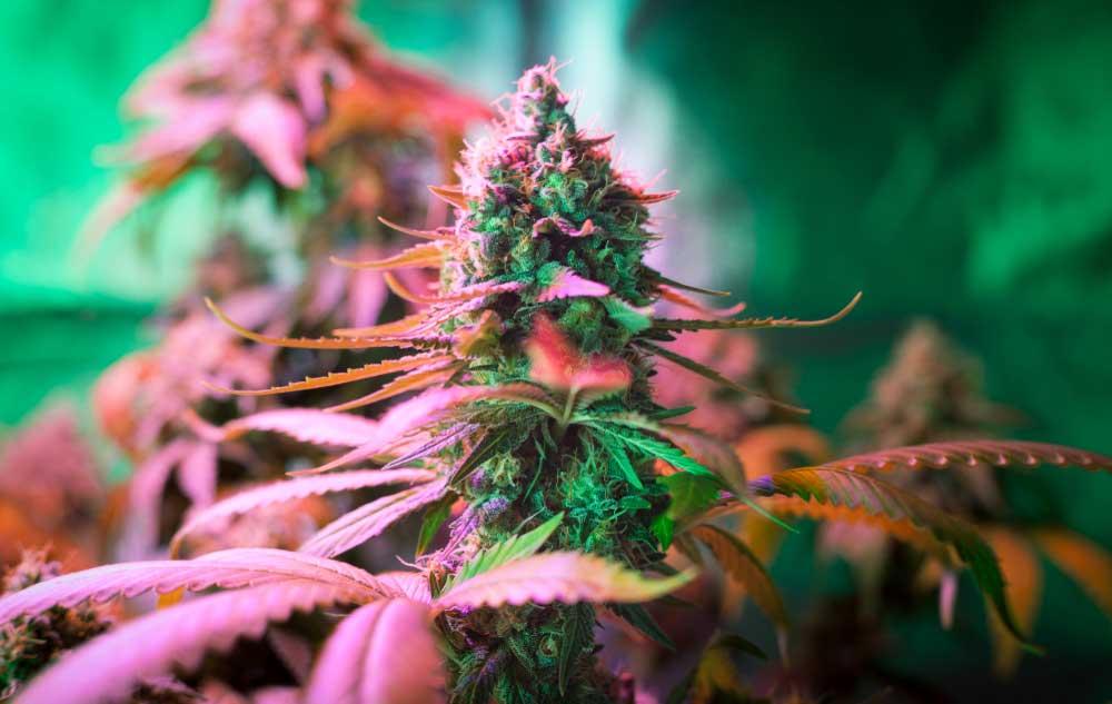 6 Week Flowering Strains to Buy