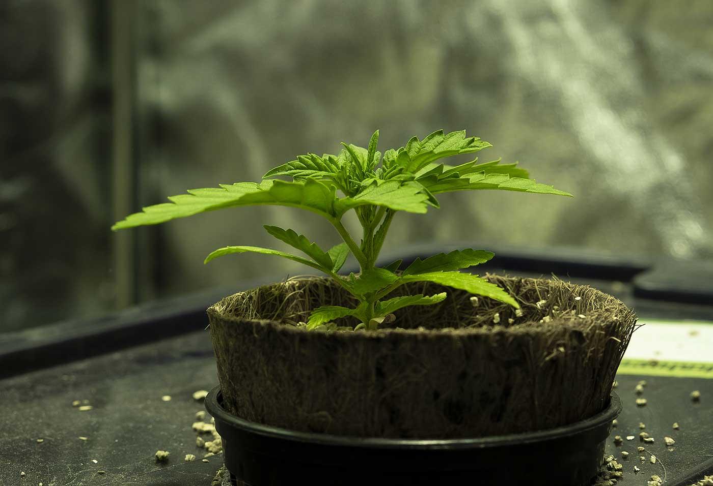 Best Fertilizer of Marijuana