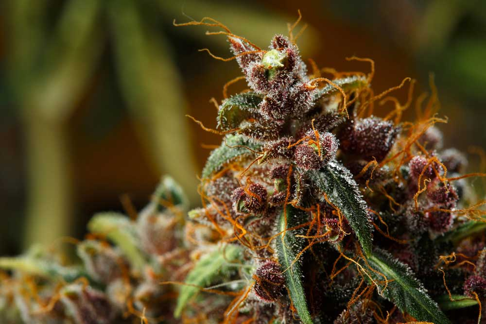 Best Indoor Strain for Yield and Potency