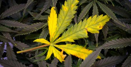 Cannabis Light Burn Symptoms and Solutions