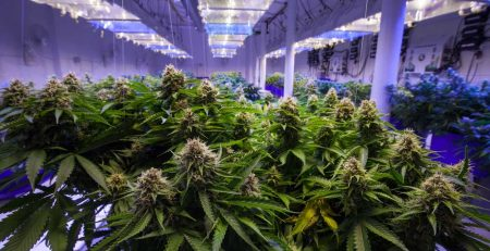 Cannabis Temperature 101 Maintaining a Perfect Condition for your Plants