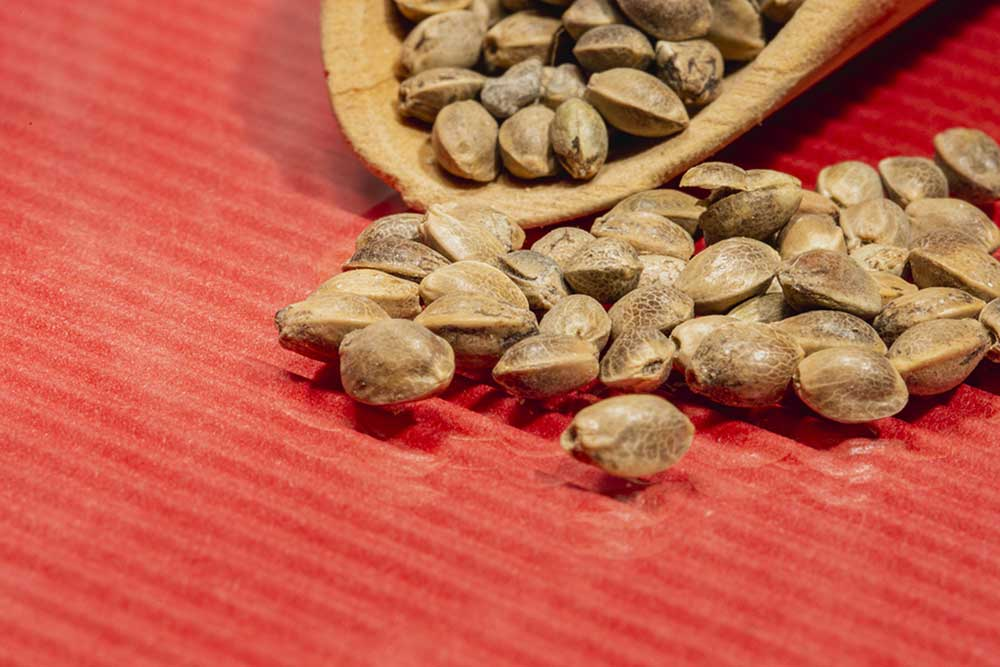 Feminized VS Regular Seeds of Marijuana Compared