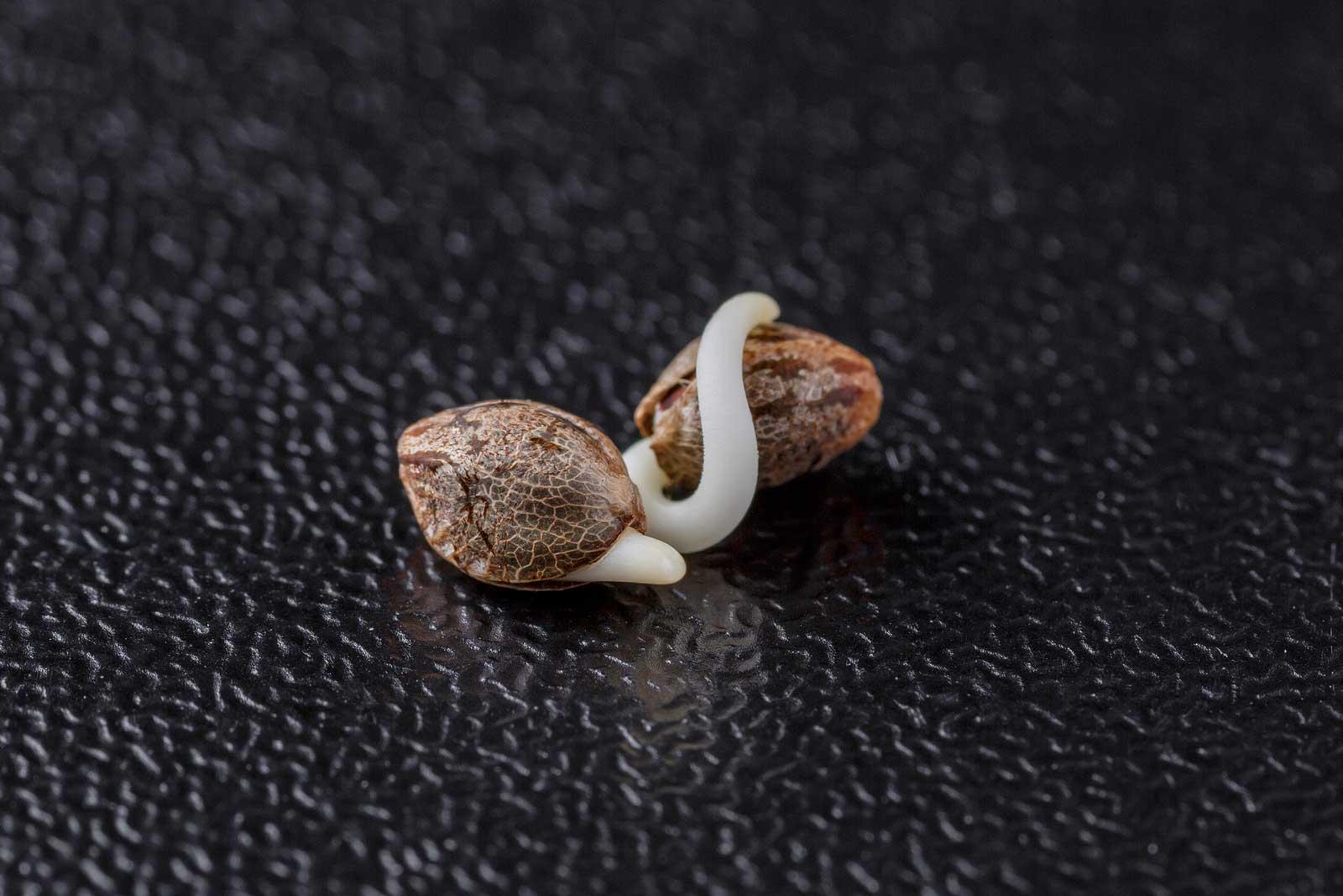 Risks of Forced Feminized Cannabis Seeds