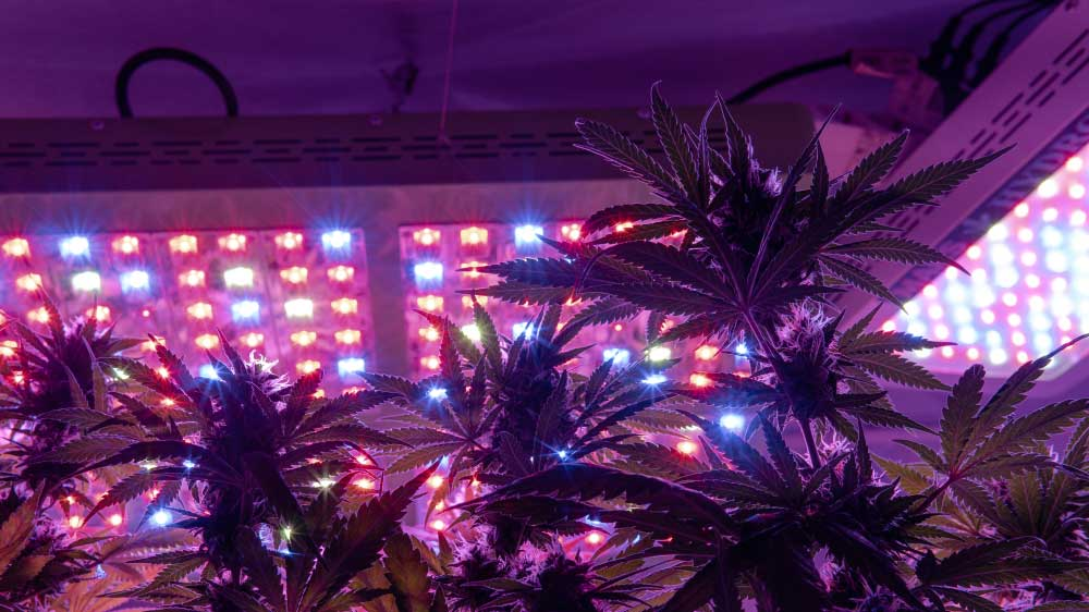 Growing Weed with LED Lights