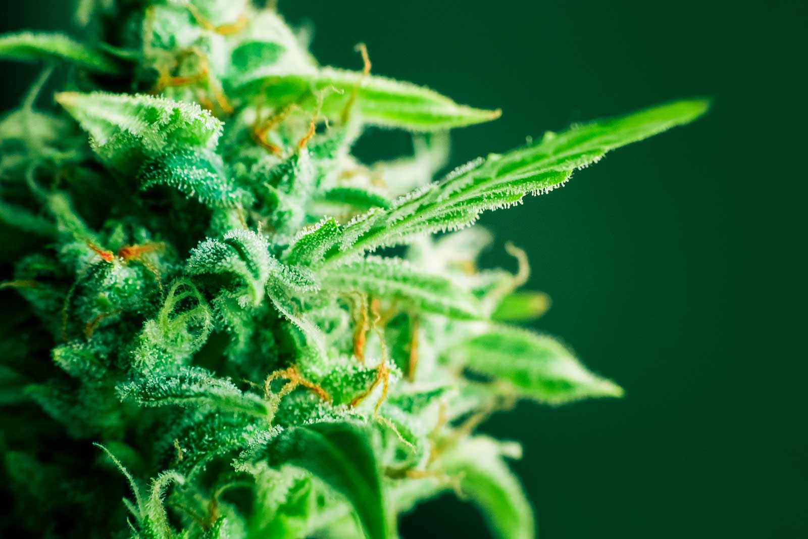 How to Breed New Strains With Regular Cannabis Seeds
