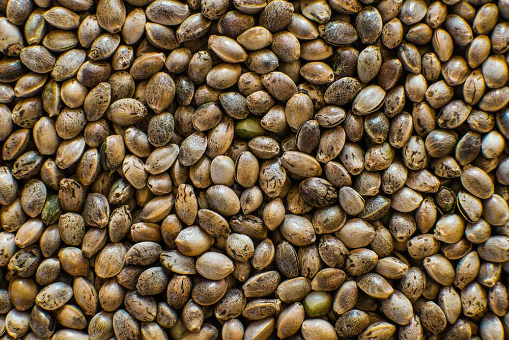 How to Buy Cannabis Seeds From a Seed Bank