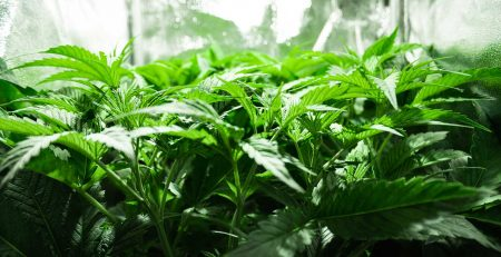 Indoor Feminized Cannabis Seeds Growing Guide