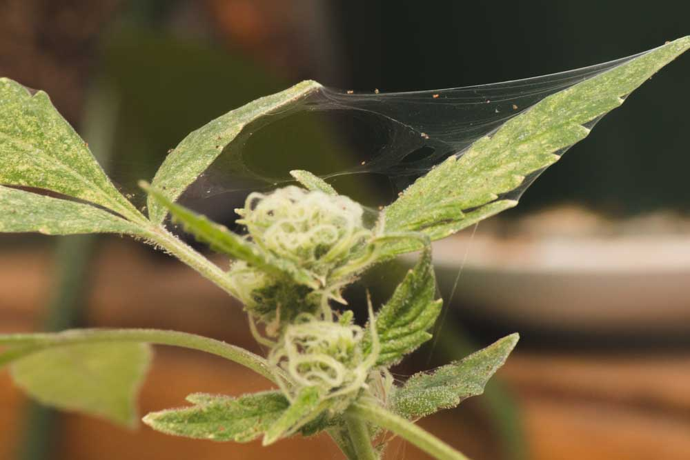 Spider Mites on Weed Preventing and Removal Guide