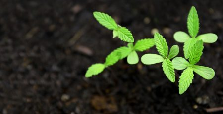 A Guide to Starting a Marijuana Farm for Commercial Purposes