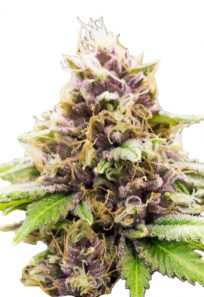 Grandaddy Purple Autoflowering Marijuana Seeds