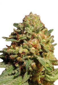 Pineapple Express Autoflowering Marijuana Seeds