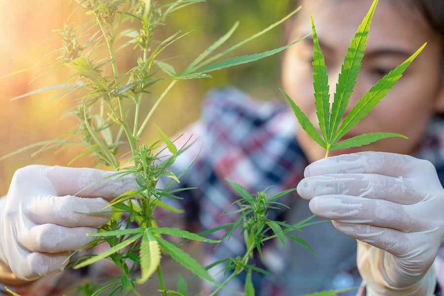 How Are Feminized Seeds Made