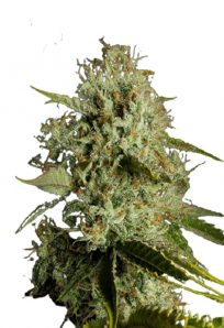 Agent Orange Regular Marijuana Seeds