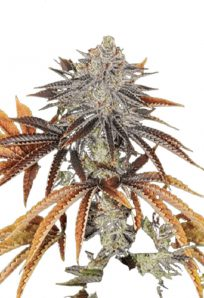 Alien Technology Regular Marijuana Seeds