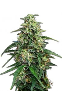 Amnesia Feminized Marijuana Seeds