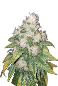Amnesia Lemon Feminized Marijuana Seeds