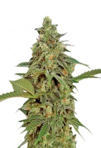 Amnesia Lemon Regular Marijuana Seeds