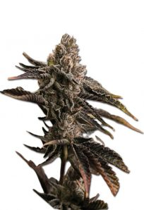 Banana Punch Feminized Marijuana Seeds