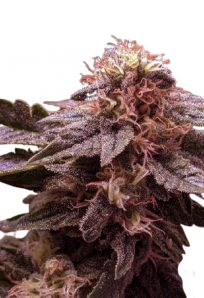 CBD White Widow Autoflowering Marijuana Seeds