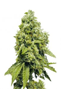 Gorilla Glue Regular Marijuana Seeds
