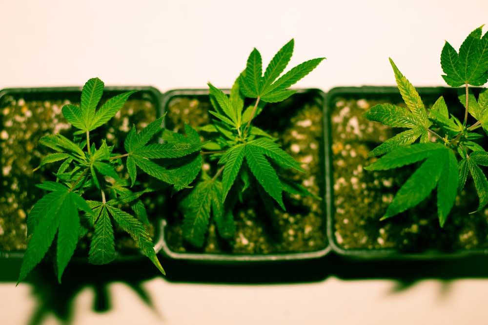 Growing Guide Marijuana Seed Indoors