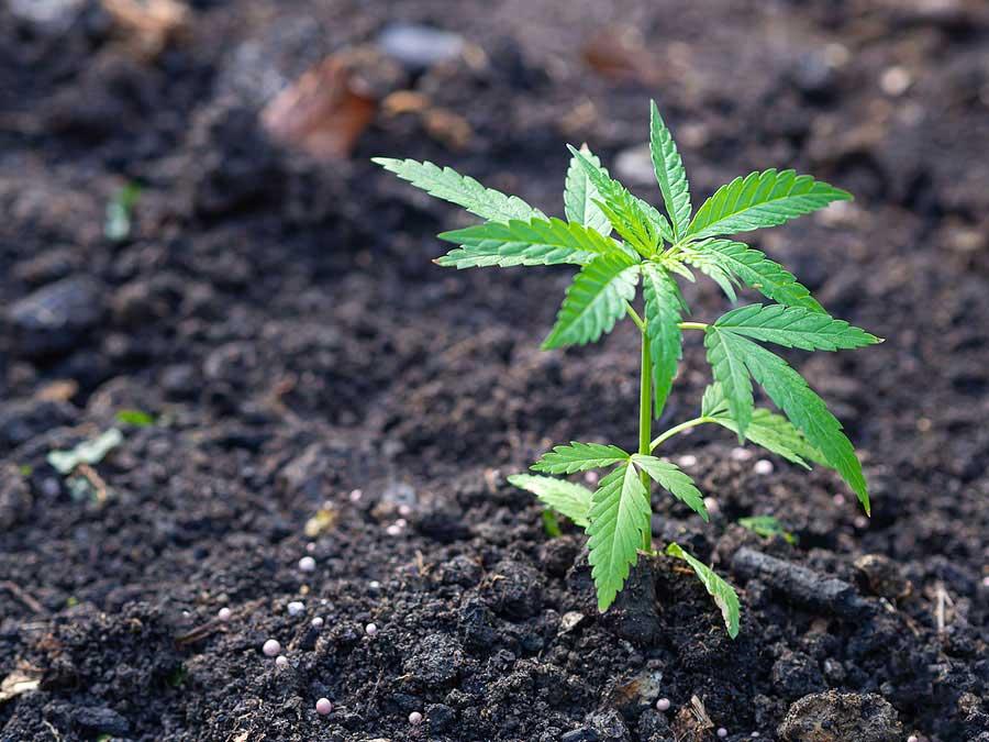 Growing Guide of Cultivating Marijuana Seeds