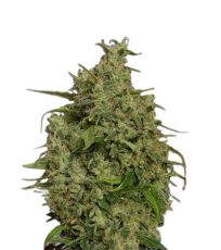 Sweet Tooth Regular Marijuana Seeds