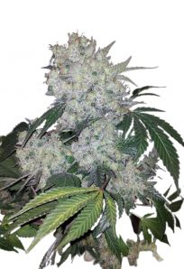 White Widow Regular Marijuana Seeds