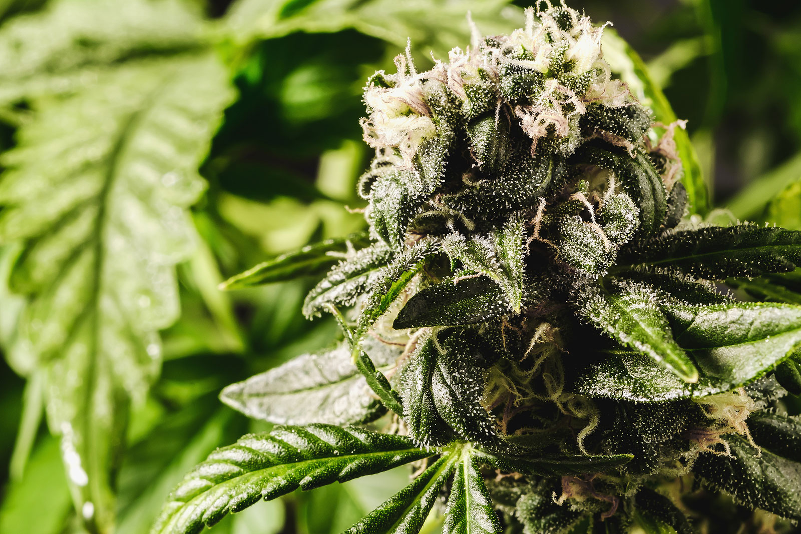 Top 5 Strains for High Density Buds